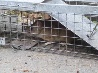 Packrat in a live trap...