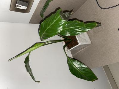 Peace Lily with dying leaves