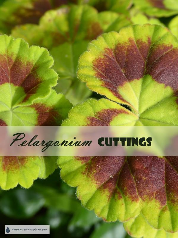 Pelargonium Cuttings