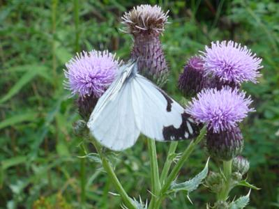 Pine White butterfly on thistle blooms