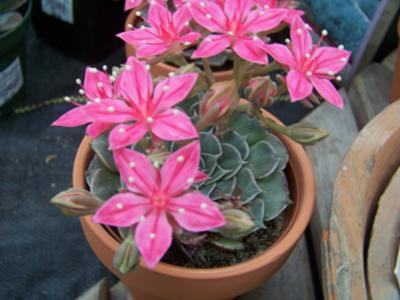 Photo 1 of pink flowering succulent
