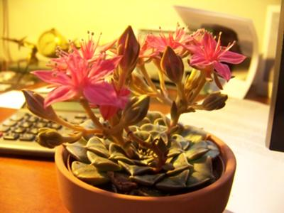 Photo 2 of pink flowering succulent