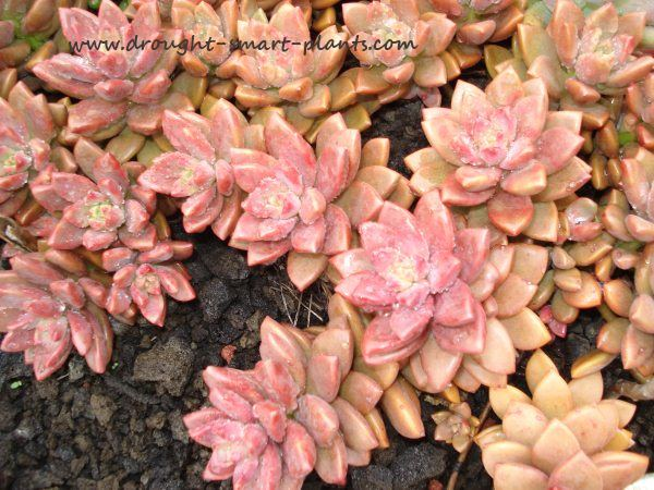 Pink and pretty, this tender Sedum hybrid is lovely as a ground cover...