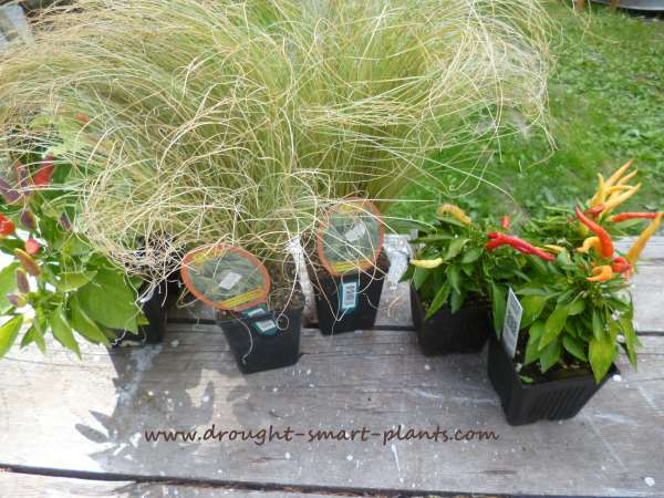 Finding the plants for Autumn Containers...