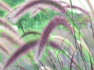 Cherry Frost Fountain Grass