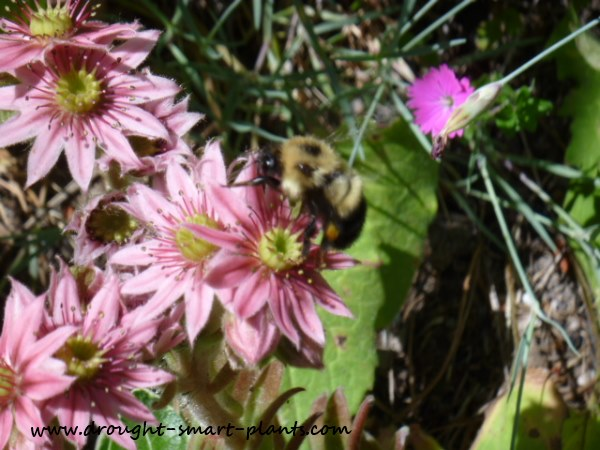 The crown like flowers of Sempervivum hens and chicks must have a lot of nectar...