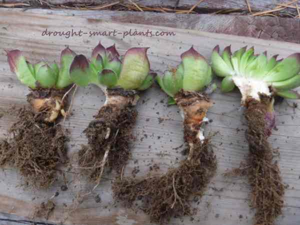 Each portion of the crown with attached root will be a new plant