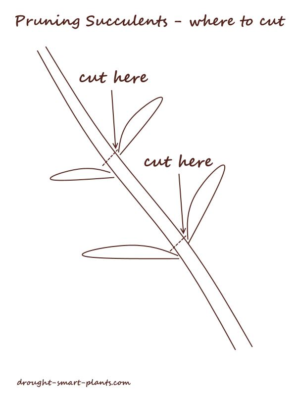 Pruning Succulents - where to cut