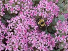 Sedum pluricaule - bees love it; find out other Plants for Bees