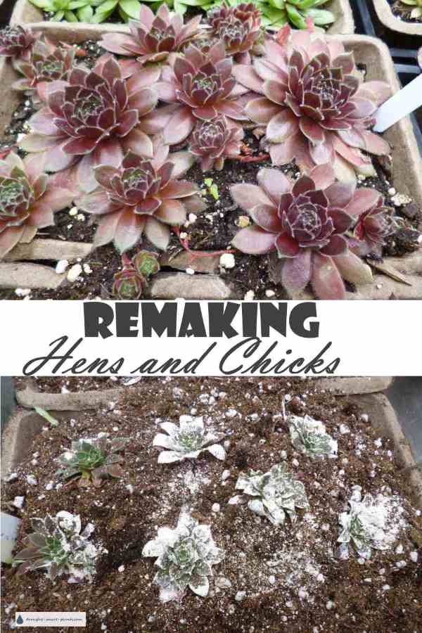 Remaking Hens and Chicks