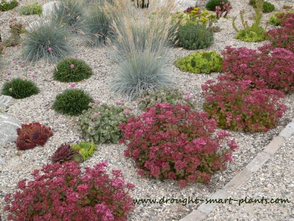 Mulched with gravel, these grasses and Sedum thrive...