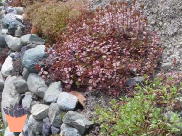 The finished rock wall, planted with Sedum and other hardy succulents