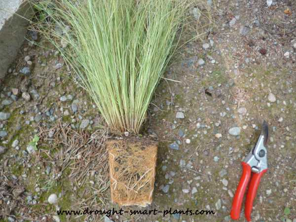 Root bound Carex...