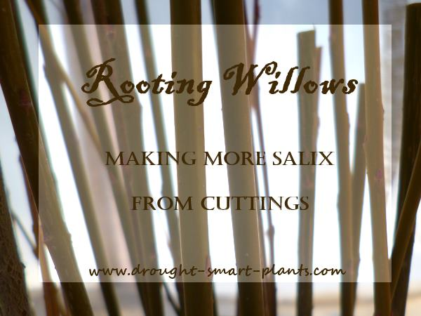 Rooting Willows - making more Salix from cuttings...