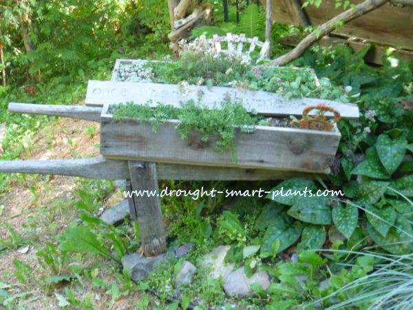 Wooden Wheelbarrow with Sedum