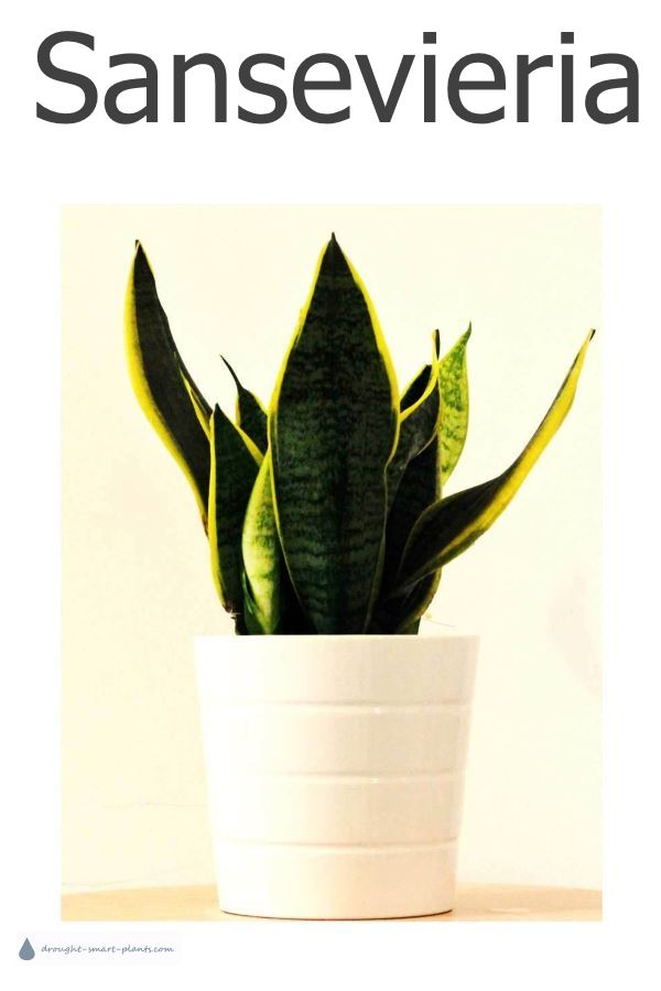 Sanseveria, Mother-In-Laws-Tongue