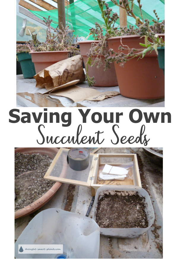 Saving Your Own Succulent Seeds Succulent Plant Propagation