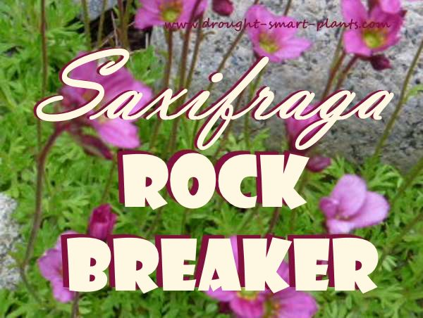 Saxifraga - the Rock Breaker - who would have thought something so fragile seeming could break rocks?