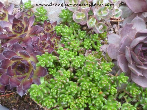 Perfectly at home with many green plants, Sedum album athoun is equally comfortable with other shades too...