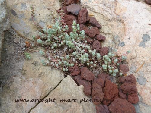 Nestled safely in a lichen covered rock, Sedum brevifolium seems very happy...