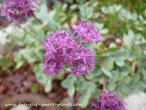 Rich pink flowers of Sedum ewersii open over three weeks in late summer
