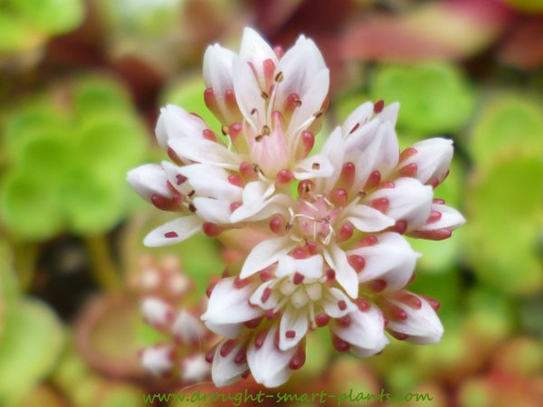Sweet and delightfully shy, Sedum lydium is a rare sight in bloom...