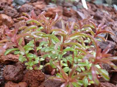 Sedum middendorffianum seems to me to resemble a miniature Russian Stonecrop more than anything; if you like tiny and delicate, this plant fits the bill...