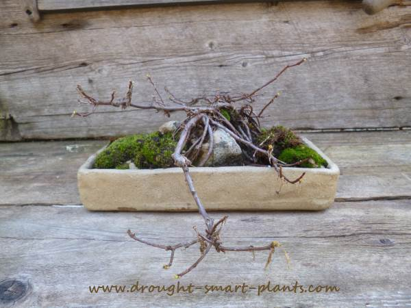 An unusual Sedum, this can be trained into a tree like shape