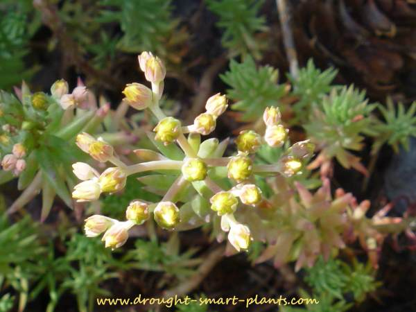 Sedum reflexum 'Sandy's Silver Crest' in bloom