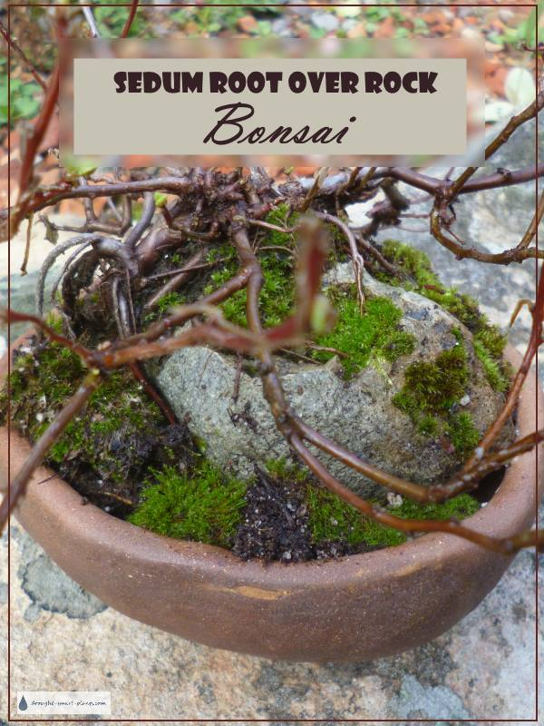 Bonsai, made from Sedum?  Unthinkable!