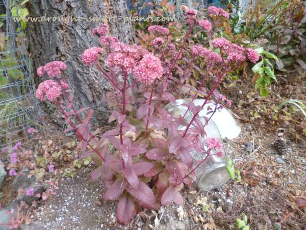 Sedum spectabile hybrid 'Red Leather'