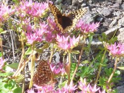 Sedum spurium with attendant butterflies