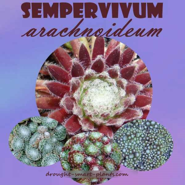 Sempervivum arachnoideum, the cobweb hens and chicks