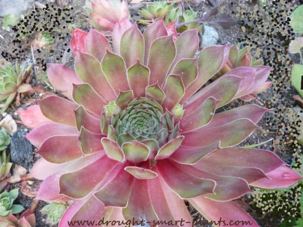 Sempervivum, hens and chicks...