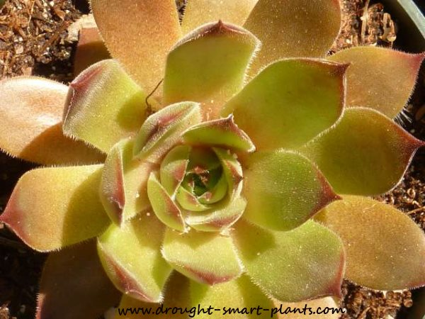 Gorgeous seed grown Sempervivum - this is how new hybrids are made...see more about Starting Seeds here...