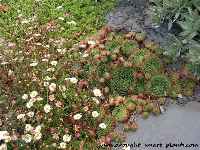 Succulents nestle nicely into crevices beside walkways, softening the landscape...