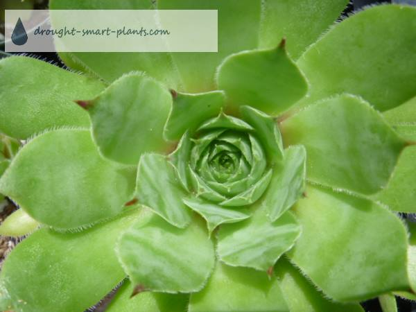 Sempervivum tectorum varieties show the many different colors and shapes