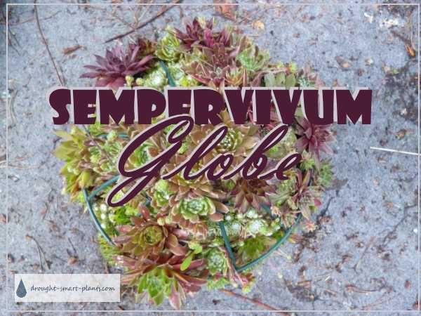 Sempervivum Globe - a different method