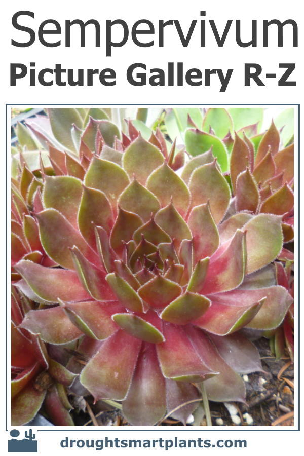 The lush rich colors of hens and chicks combine perfectly with Sedum and other hardy succulents...