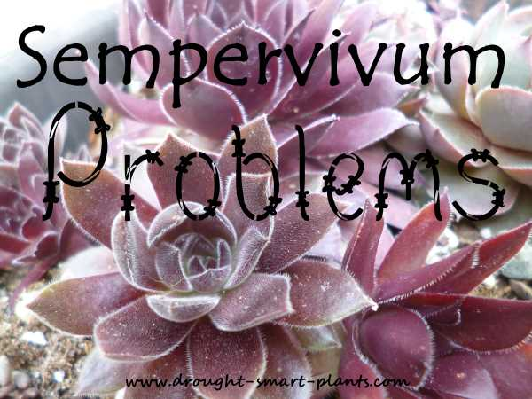 Sempervivum Problems...