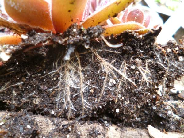 In a week or two, Magic happens - Roots!
