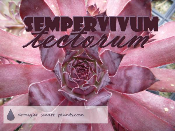 Sempervivum tectorum - the foundation species...