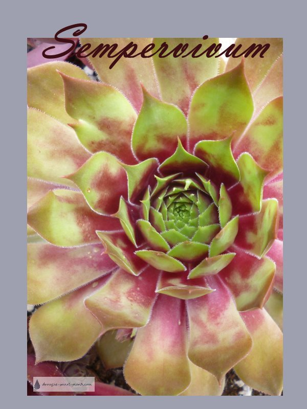 Sempervivum species