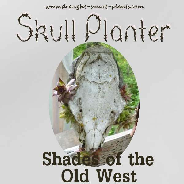 The patina of an old skull is complemented by the Sempervivum