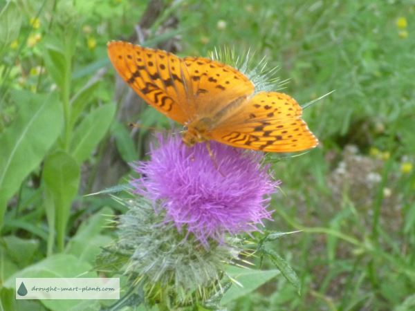 Great Spangled Fritillary Butterfly on a Thistle Flower