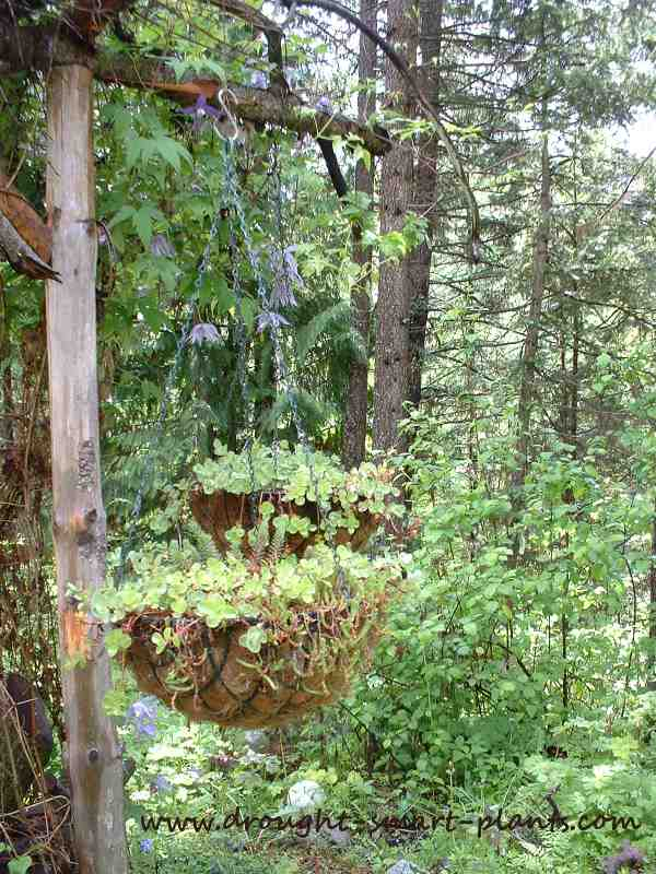 Succulent Hanging Baskets on a twiggy gazebo...