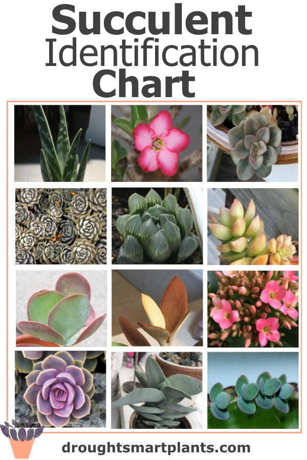 Identify your succulent with this chart
