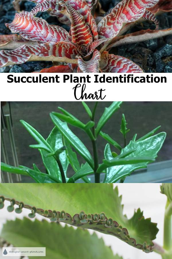 Succulent Identification Chart showing many of the most beautiful succulents around
