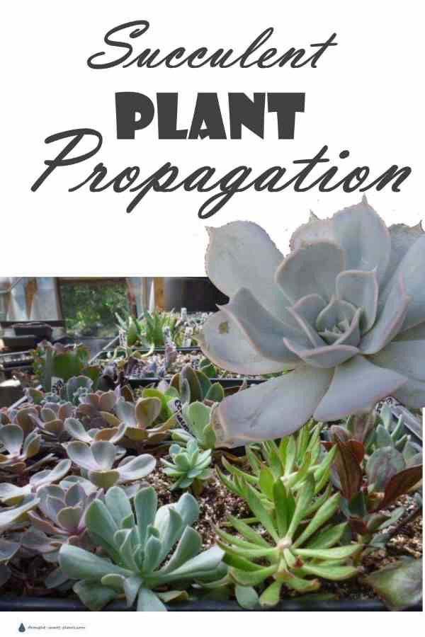 Succulent Plant Propagation - by seed, cuttings or beheading