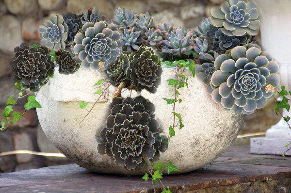 Succulents in a bowl planter with trailing ivy